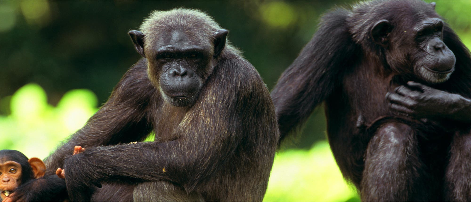 Schimpansen (Symbolbild)