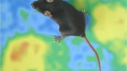 Transgene Maus