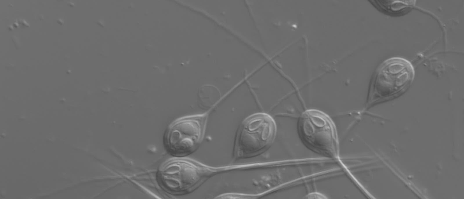Der nicht atmende Myxozoe Henneguya salminicola