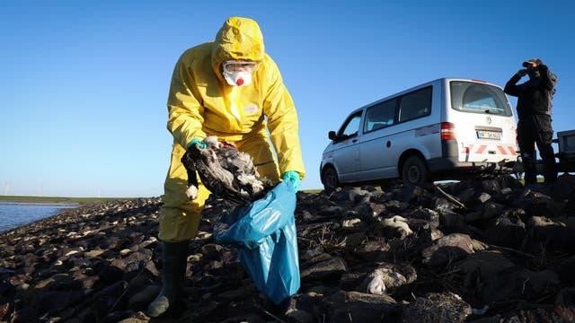 Ein Mann in Schutzkleidung hebt einen Vogelkadaver in einen Plastiksack.