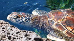 Suppenschildkröte (<i> Chelonia mydas</i>)