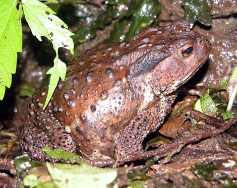 Die Giftkröte <i>Bufo japonicus</i> gehört zur Leibspeise der Tigernattern