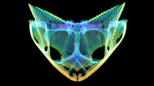 Froschschädel