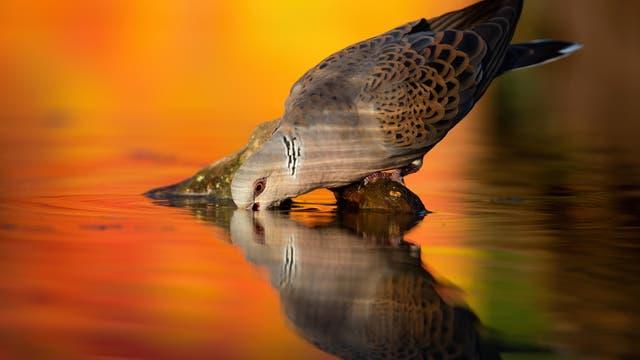 Die Turteltaube »Streptopelia turtur« gehört zu den bedrohten Arten und steht in Deutschland unter Schutz.