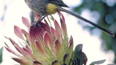 Kaphonigfresser auf einer Protea-Pflanze in Südafrika
