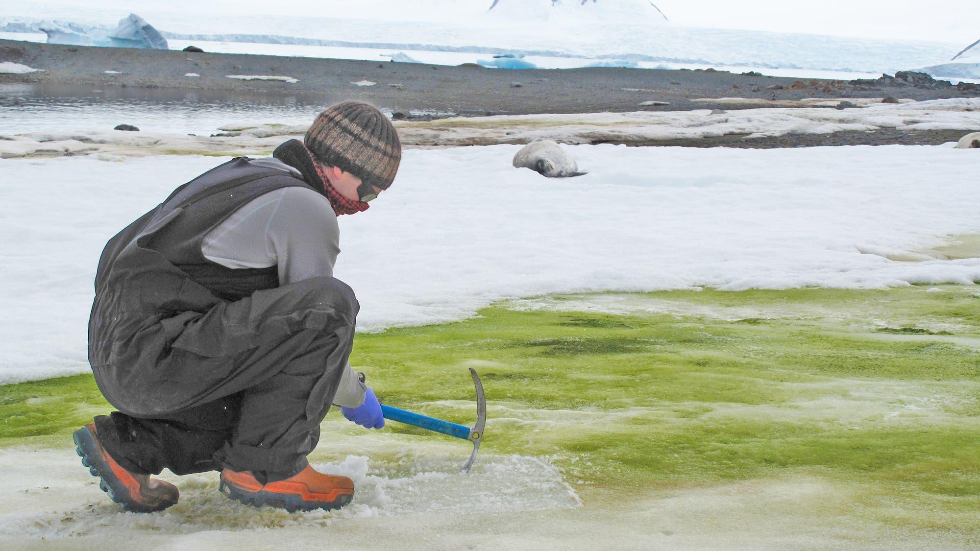 Der britische Algenforscher Matt Davey nimmt Proben von Schneealgen auf einer Insel in der Antarktis.