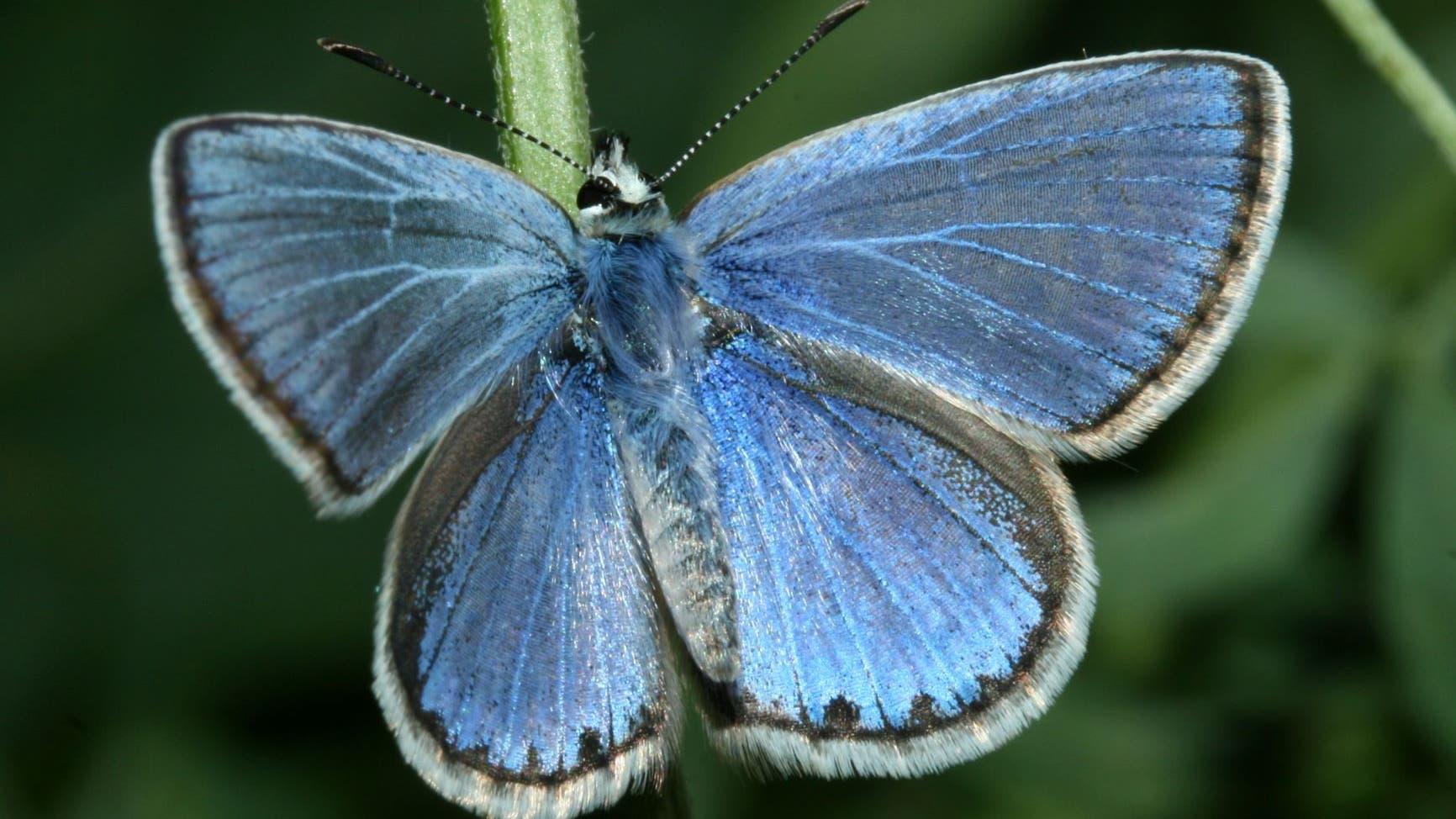 Polyommatus celina ist leicht mit dem Gemeinen Bläuling zu verwechseln, aber einen eigene Art.