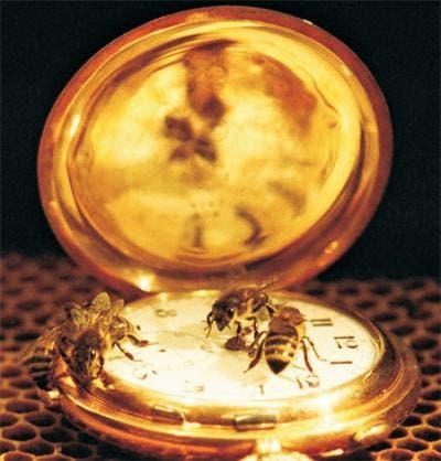 Bienen auf einer Taschenuhr