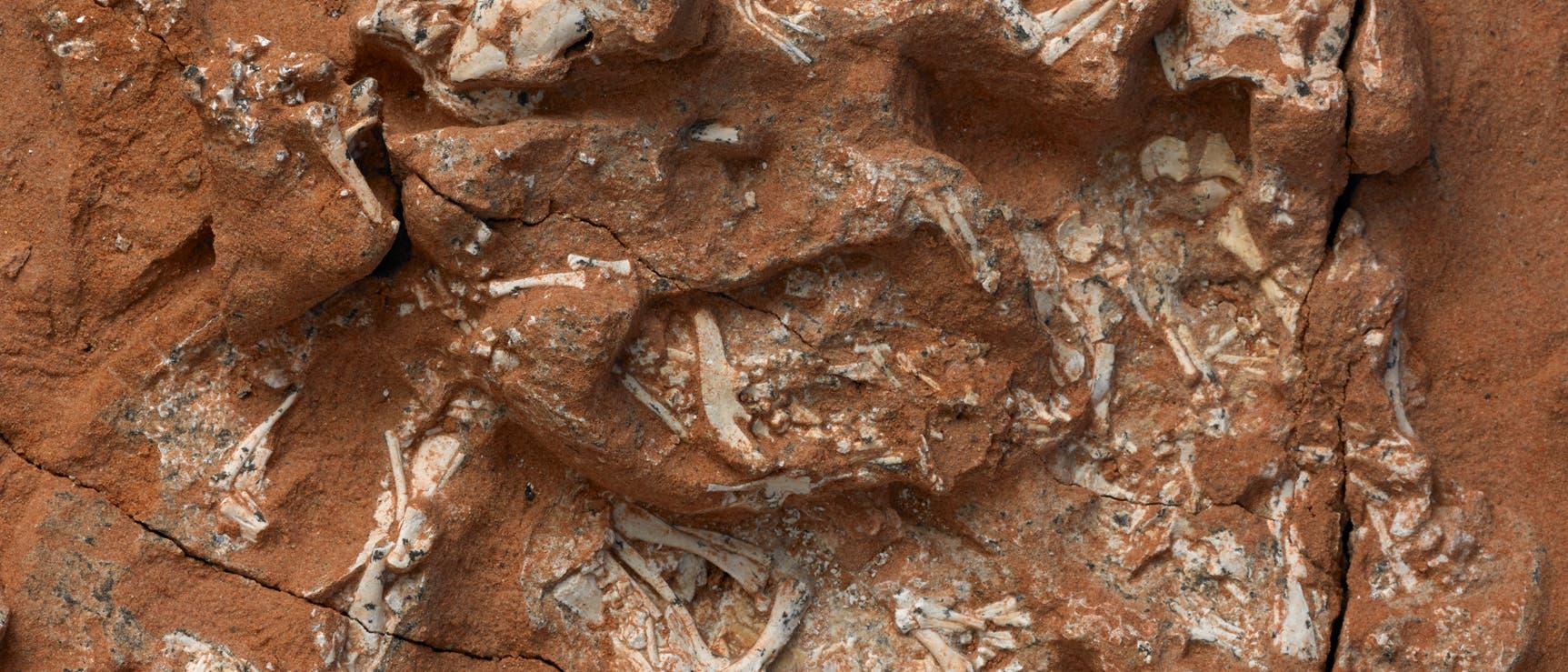 Protoceratops-Embryonen