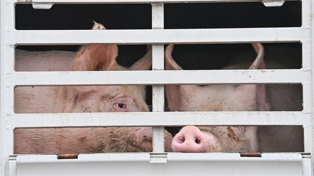 Schweine in einem Tiertransporter