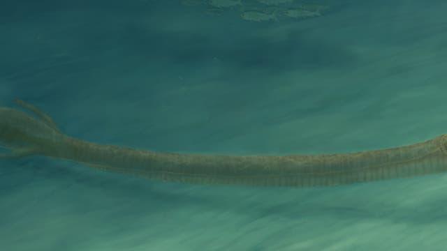 Rekonstruktion des Fossils von Tanystropheus  hydroides