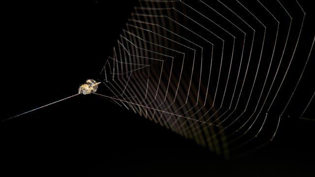 Eine gelb-braune Zwergradnetzspinne sitzt an der Spitze ihres Trichternetzes und spannt den von dort gespannten Seidenfaden.