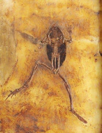 Frosch aus Messel