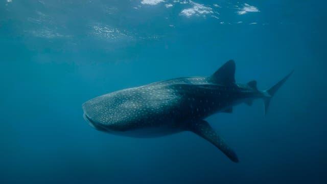 Walhai (Rhincodon typus), die größte Fischart der Welt.