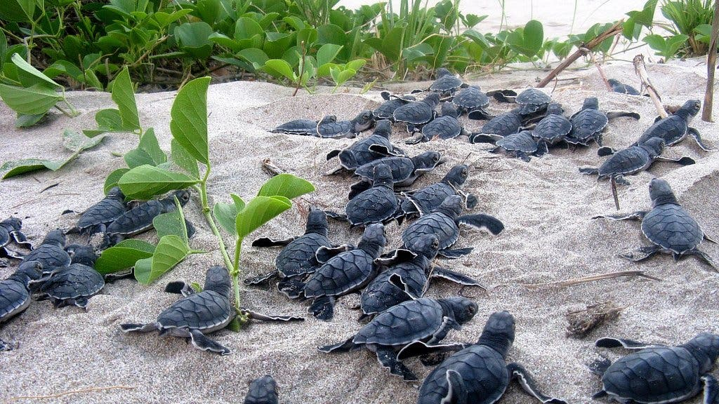 Junge Schildkröten eilen ins Meer