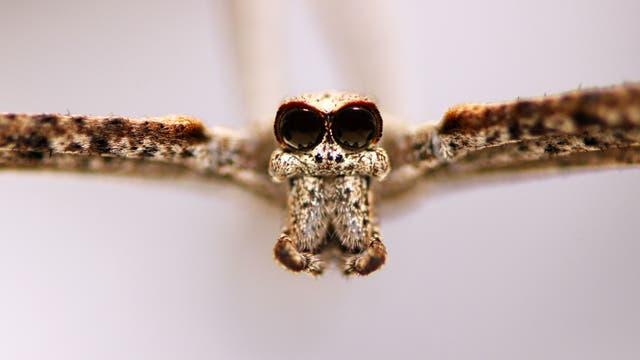 Die großen Spinnenaugen der Deinopidae sind in der Frontalansicht besonders gut zu erkennen.