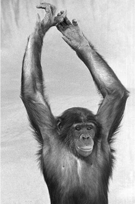 Junger Bonobo