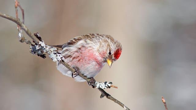 Ein kleiner Vogel mit braunem Gefieder, rosafarbener Brust und einem knallroten Tupfer auf der Stirn sitzt auf einem Ast und wundert sich über die Veröffentlichungen, die über ihn verfasst werden.