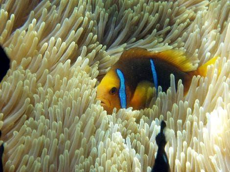 Clownfisch (<i>Amphiprion clarkii</i>)