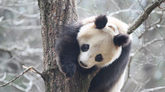 Pandabär
