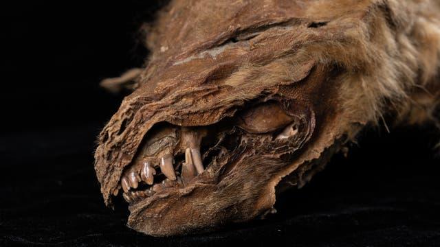 Kopf einer Wolfsmumie mit Zähnen aus dem Permafrost