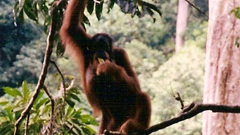 Orang-Utan in aufrechter Haltung