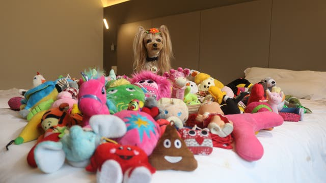 Yorkshire Terrier Vicky Nina zwischen ihren Spielzeugen