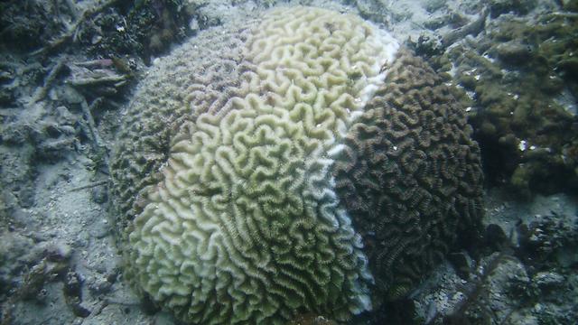 Von der Krankheit betroffene Steinkoralle