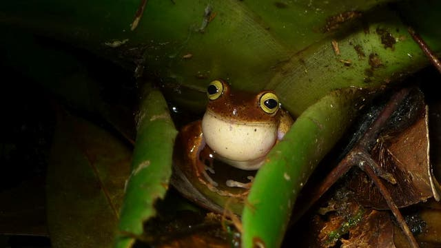 Bokermannohyla astartea ist in Brasilien endemisch. Sein natürlicher Lebensraum sind feuchte Tieflandwälder.