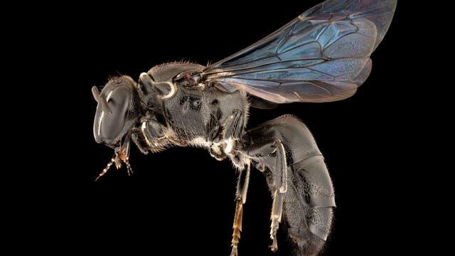 <em>Pharohylaeus lactiferus</em>, eine endemische Seltenheit