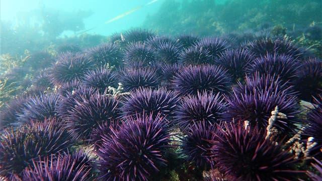 Seeigel vor der kalifornischen Küste
