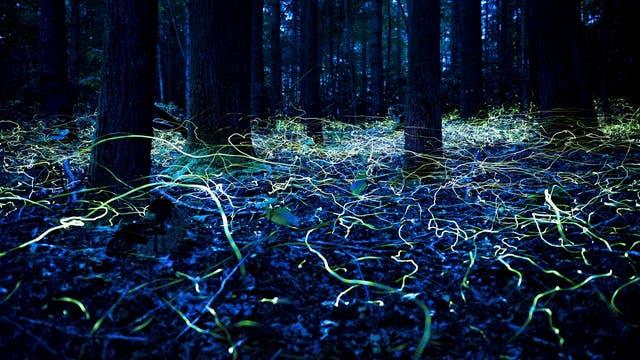 Leuchtkäfer der Art Phausis reticulata in einem Wald