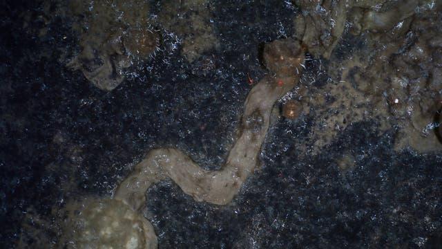 Kriechspur eines Schwammes, der auf seinem Weg sogar um eine Kurve powergeslided ist.