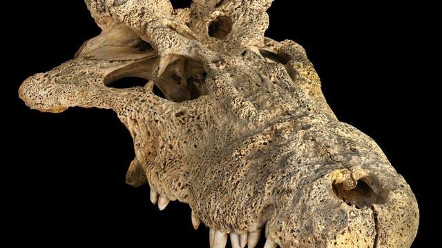 Schädel eines gehörnten Krokodils