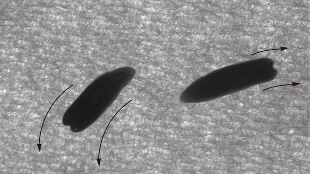 Plattwürmer unter UV-Licht