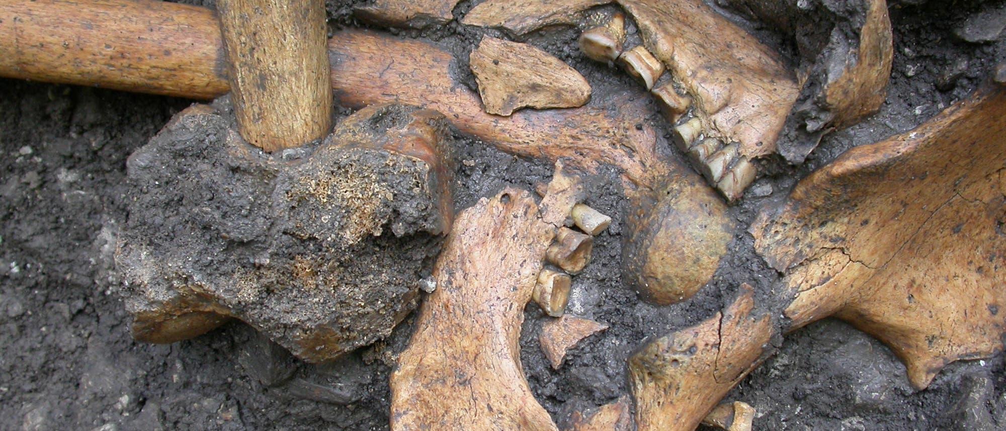 Menschliche Kieferteile vom mesolithischen Fundplatz Vlasac in Serbien aus der Zeit von 6750 bis 6450 v. Chr.