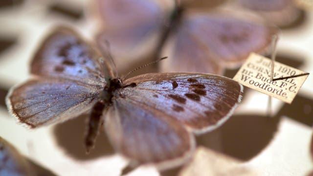 Thymian-Ameisenbläuling