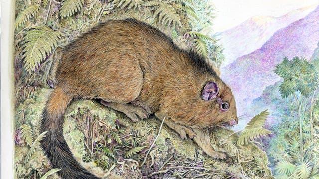 Illustration der neuentdeckten Stachelratte 'Isothrix barbarabrownae'