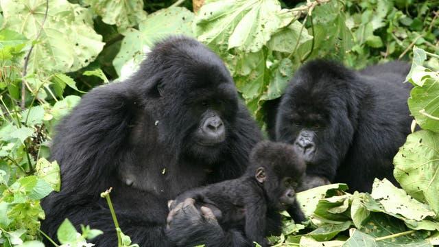Gorillas im Nationalpark in Ruanda