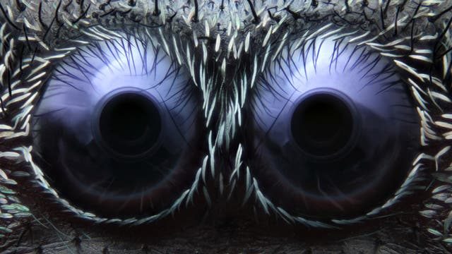 3. Platz: Augen der Springspinne