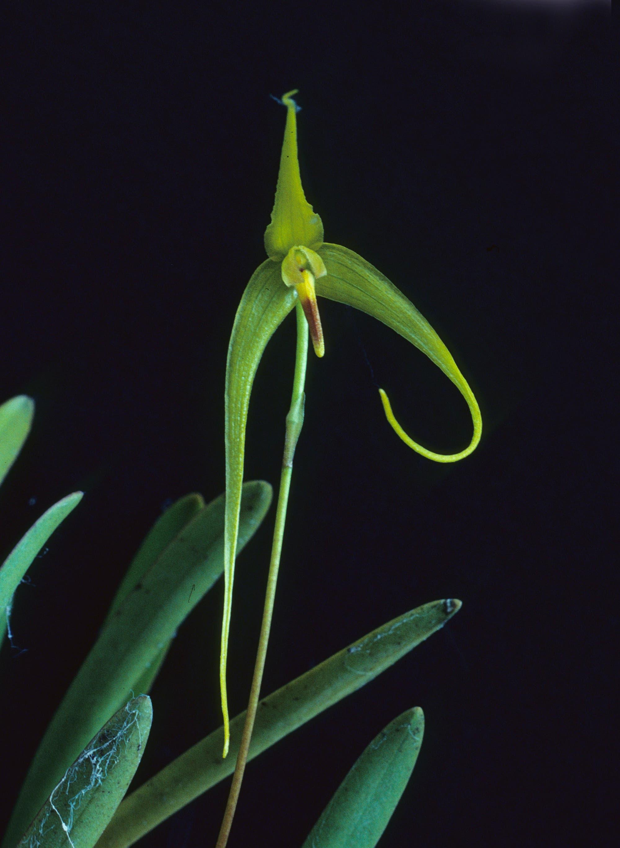 Bulbophyllum dologlossum