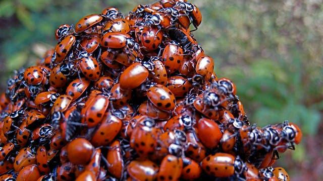 Ein Haufen Marienkäfer