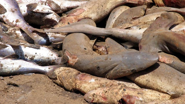 Tote Haie mit abgeschnittenen Flossen