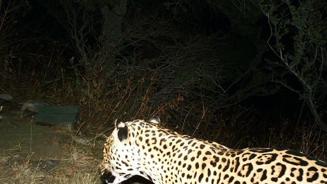 Dieser bislang unbekannte Jaguar ging in den Dos Cabezas Mountains in die Fotofalle