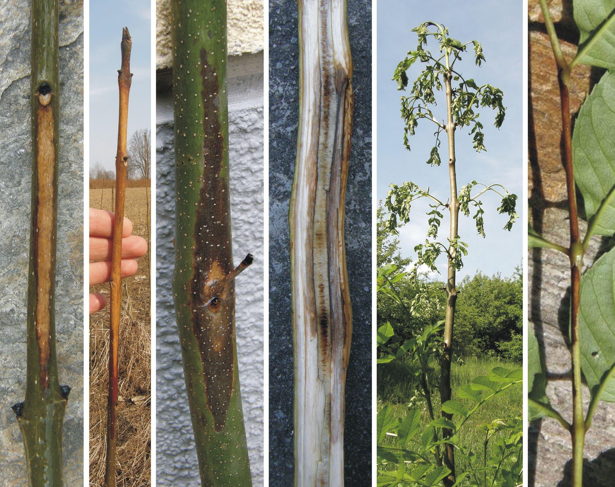 Ob eine Esche infiziert und erkrankt ist, zeigt sich durch verschiedene Symptome: Sie lässt die Blätter vorzeitig welken und abfallen, der Stamm zeigt Nekrosen und faule Stellen. Am Ende stirbt der Baum komplett ab.