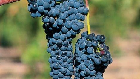 <i>Vitis vinifera</i>