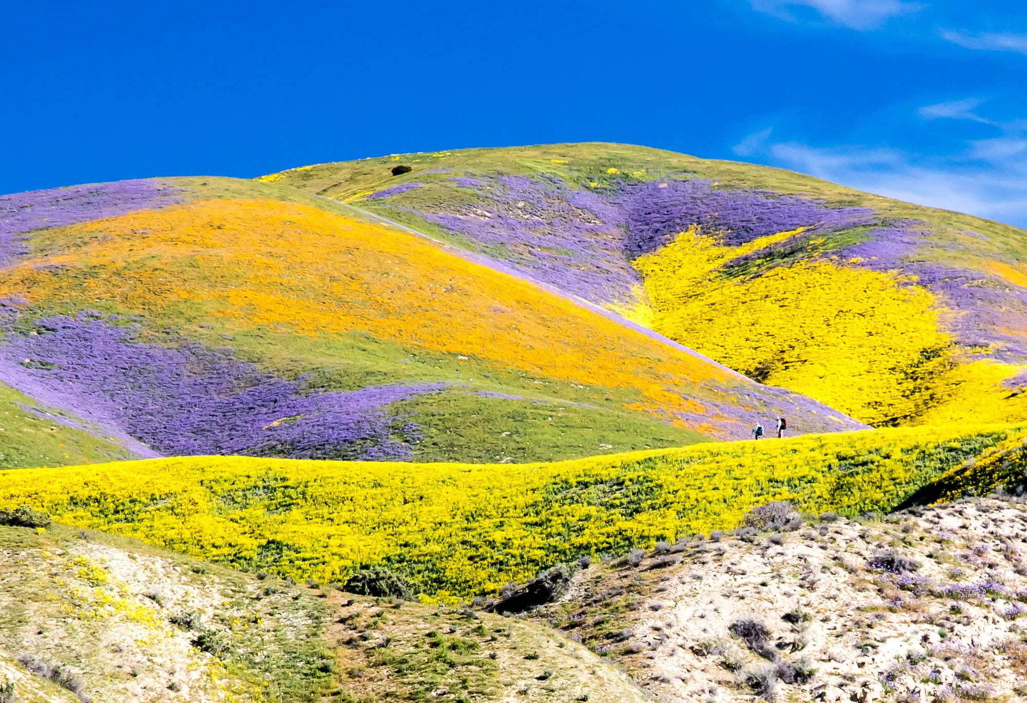 Blütenmeer im Carrizo Plain National Monument