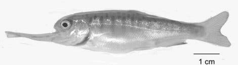 <i>Oncorhynchus kisutch</i>