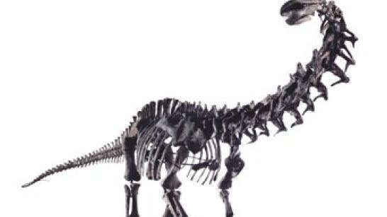 Typisch für einen Sauropoden sind sein gedrungener Körper, ein langer Schwanz, die stämmigen Beine, ein auffallend langer Hals und ein sehr kleiner Kopf.