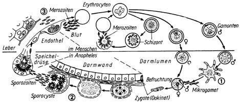 Lebenszyklus